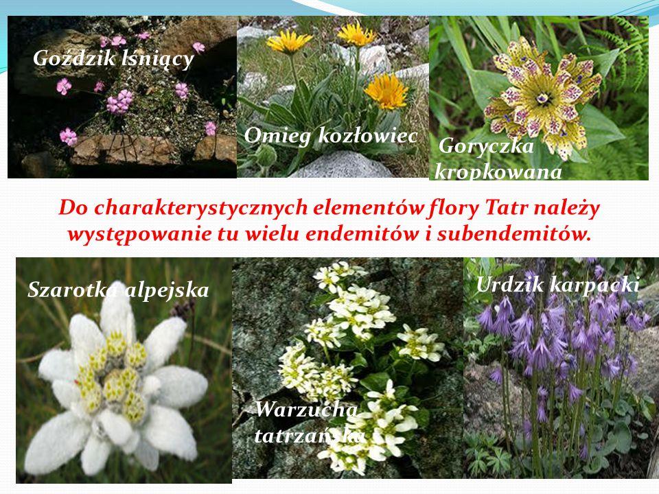 Do charakterystycznych elementów flory Tatr należy występowanie tu wielu endemitów i subendemitów. Goździk lśniący Omieg kozłowiec Goryczka kropkowana