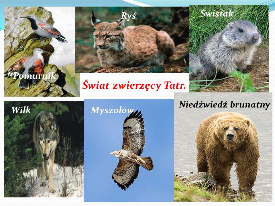Świat zwierzęcy Tatr. Pomurnik Ryś Świstak WilkMyszołów Niedźwiedź brunatny