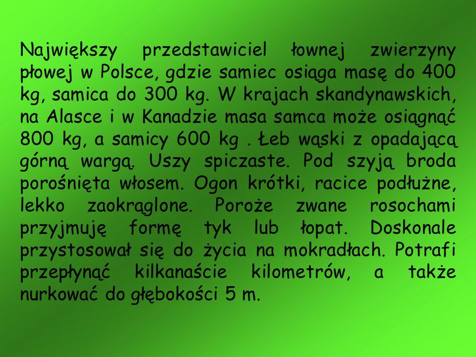 Największy przedstawiciel łownej zwierzyny płowej w Polsce, gdzie samiec osiąga masę do 400 kg, samica do 300 kg. W krajach skandynawskich, na Alasce