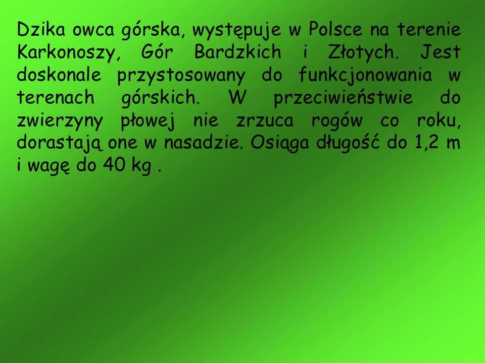 Dzika owca górska, występuje w Polsce na terenie Karkonoszy, Gór Bardzkich i Złotych. Jest doskonale przystosowany do funkcjonowania w terenach górski