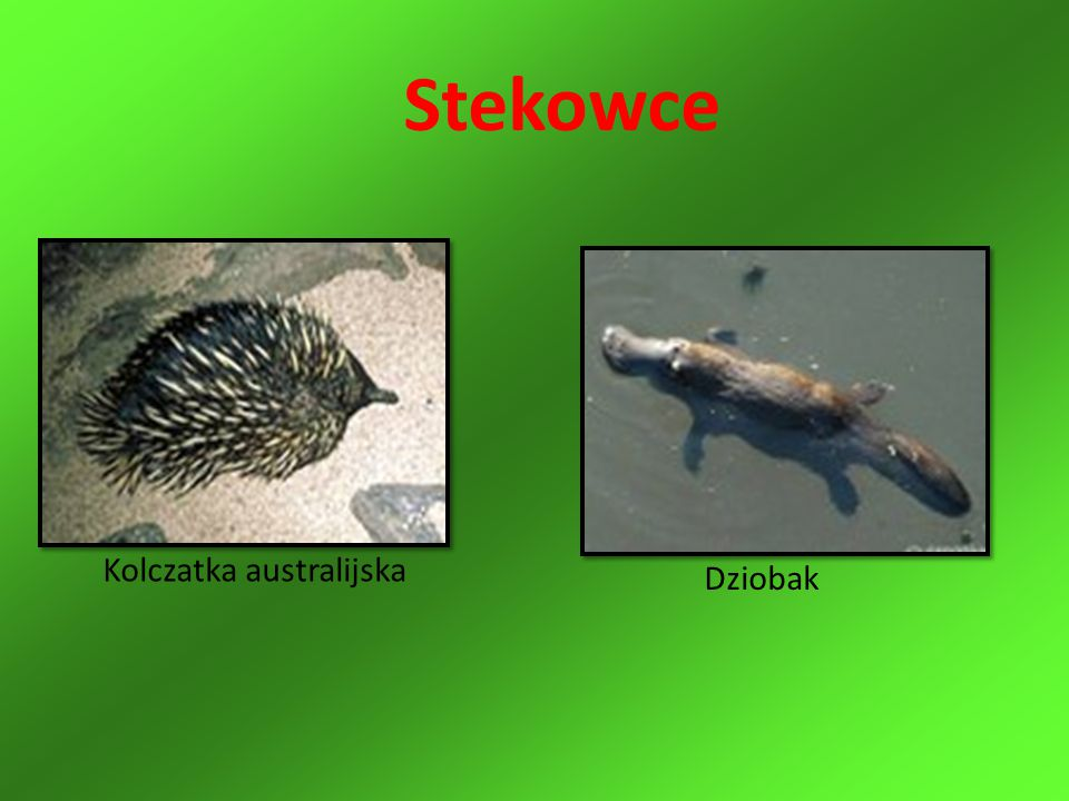 Kolczatka australijska Dziobak Stekowce