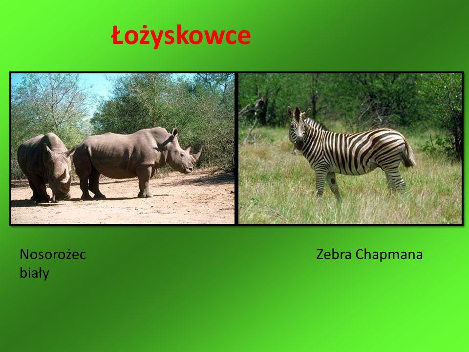 Nosorożec biały Zebra Chapmana Łożyskowce