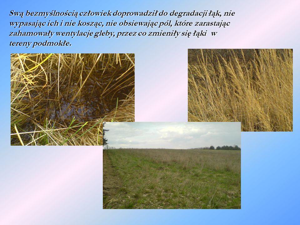 Swą bezmyślnością człowiek doprowadził do degradacji łąk, nie wypasając ich i nie kosząc, nie obsiewając pól, które zarastając zahamowały wentylacje gleby, przez co zmieniły się łąki w tereny podmokłe.