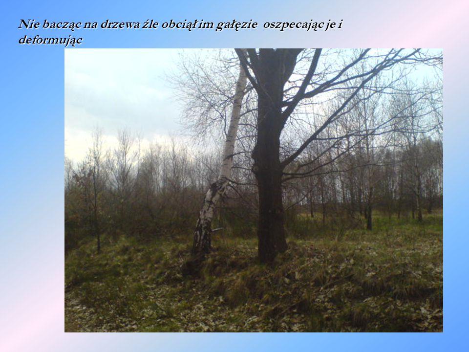 Nie bacząc na drzewa źle obciął im gałęzie oszpecając je i deformując