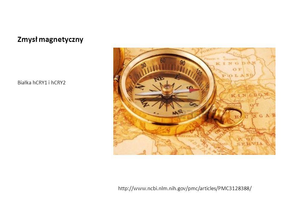 Zmysł magnetyczny Białka hCRY1 i hCRY2 http://www.ncbi.nlm.nih.gov/pmc/articles/PMC3128388/