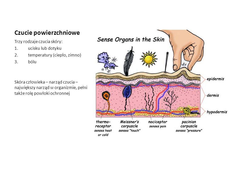 Czucie powierzchniowe Trzy rodzaje czucia skóry: 1.ucisku lub dotyku 2.temperatury (ciepło, zimno) 3.bólu Skóra człowieka – narząd czucia – największy