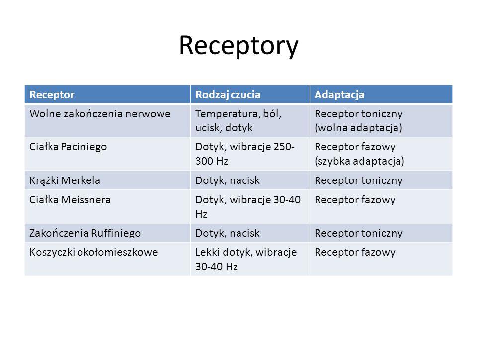 Receptory ReceptorRodzaj czuciaAdaptacja Wolne zakończenia nerwoweTemperatura, ból, ucisk, dotyk Receptor toniczny (wolna adaptacja) Ciałka PaciniegoD