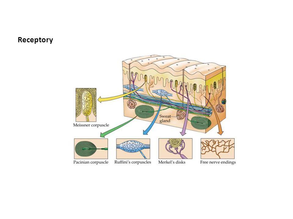 Mapa somatosensoryczna