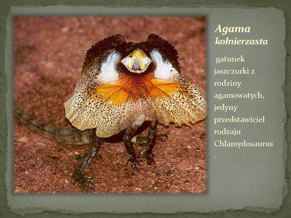 gatunek jaszczurki z rodziny agamowatych, jedyny przedstawiciel rodzaju Chlamydosaurus.
