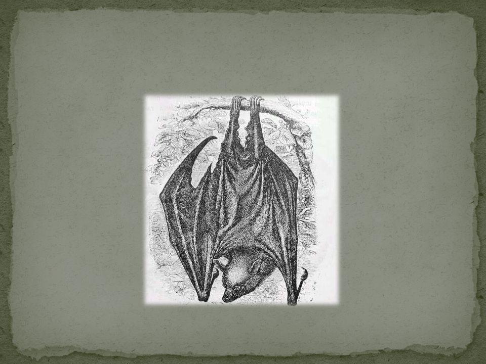 Nietoperze wykształciły skrzydła z przednich kończyn.