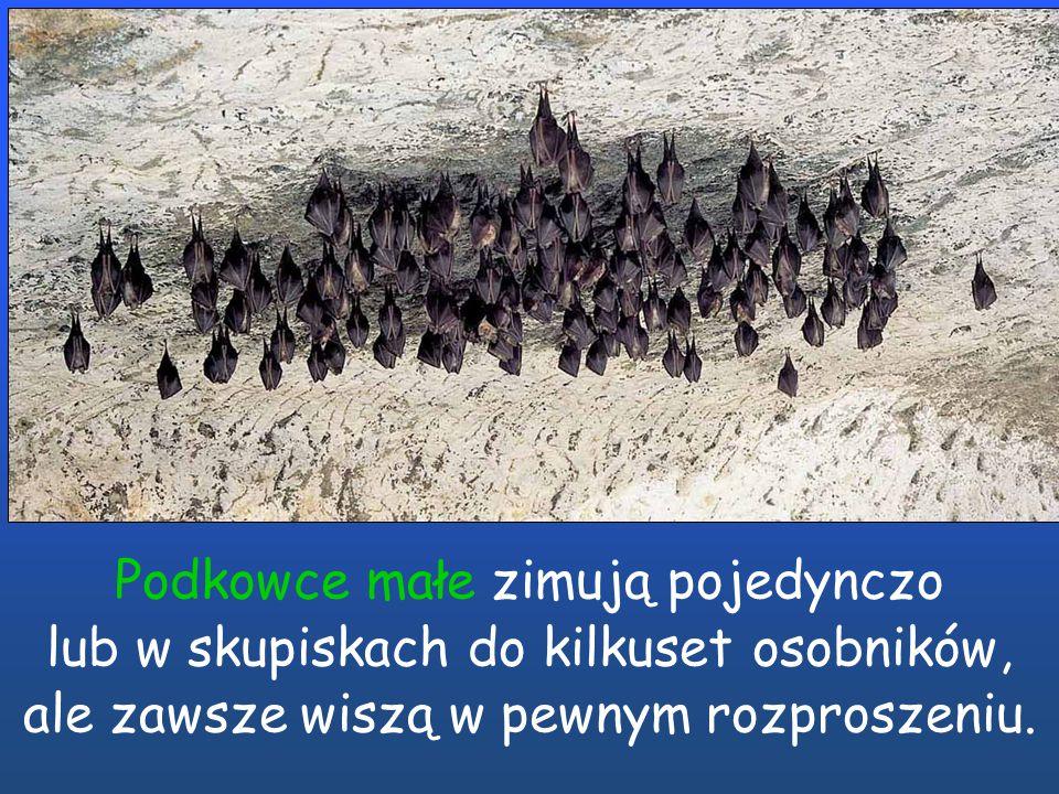 Podkowcowate * Mroczkowate Podczas hibernacji podkowce wiszą oddzielnie. Podczas hibernacji mroczkowate często wiszą bardzo blisko siebie.