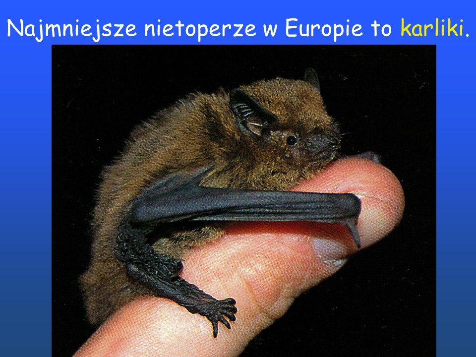 Nocki rude należą do mniejszych nietoperzy.