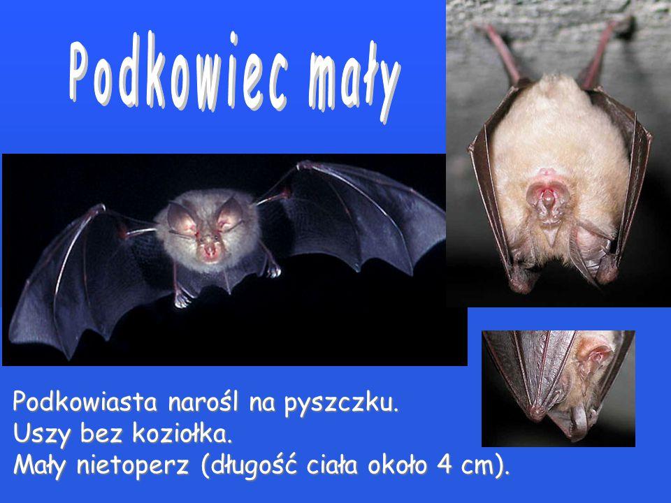 Dotychczas opisano na świecie około 1100 współcześnie występujących gatunków nietoperzy, ale wiele nowych czeka dopiero na odkrycie... W naszym kraju