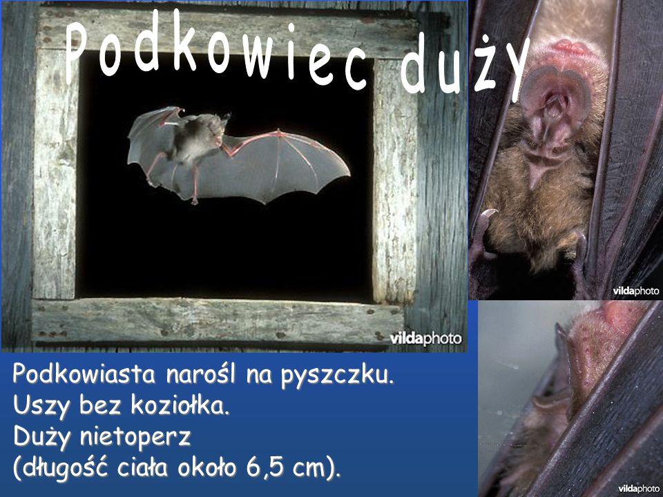 Podkowiasta narośl na pyszczku. Uszy bez koziołka. Mały nietoperz (długość ciała około 4 cm).