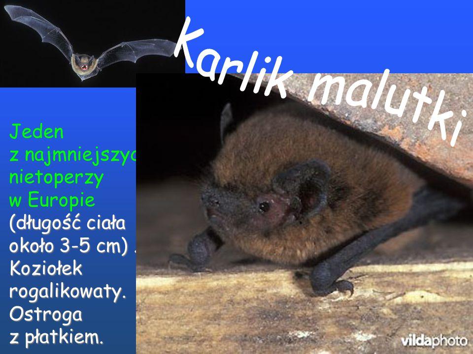 Najmniejszy nietoperz (długość ciała niekiedy zaledwie w Europie (długość ciała niekiedy zaledwie około 3 cm). Koziołek rogalikowaty. Ostroga z płatki