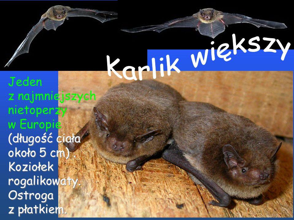 Jeden z najmniejszych nietoperzy (długość ciała około 3-5 cm). Koziołek rogalikowaty. w Europie (długość ciała około 3-5 cm). Koziołek rogalikowaty.Os