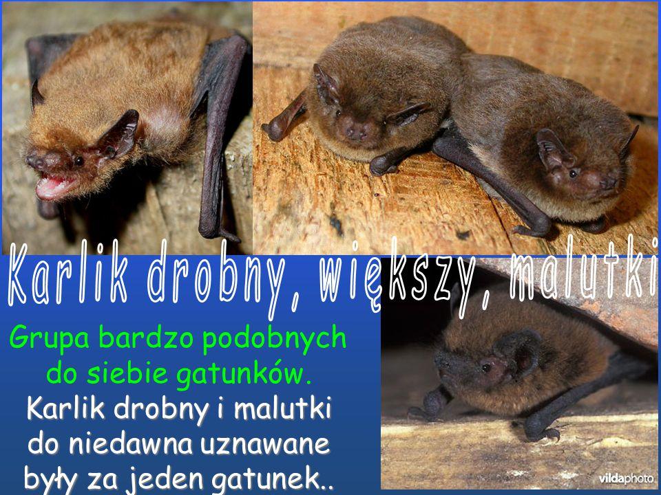 Jeden z najmniejszych nietoperzy (długość ciała około 5 cm). Koziołek rogalikowaty. w Europie (długość ciała około 5 cm). Koziołek rogalikowaty.Ostrog