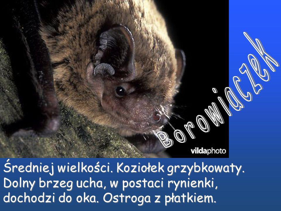 Karlik drobny i malutki do niedawna uznawane były za jeden gatunek.. Grupa bardzo podobnych do siebie gatunków. Karlik drobny i malutki do niedawna uz