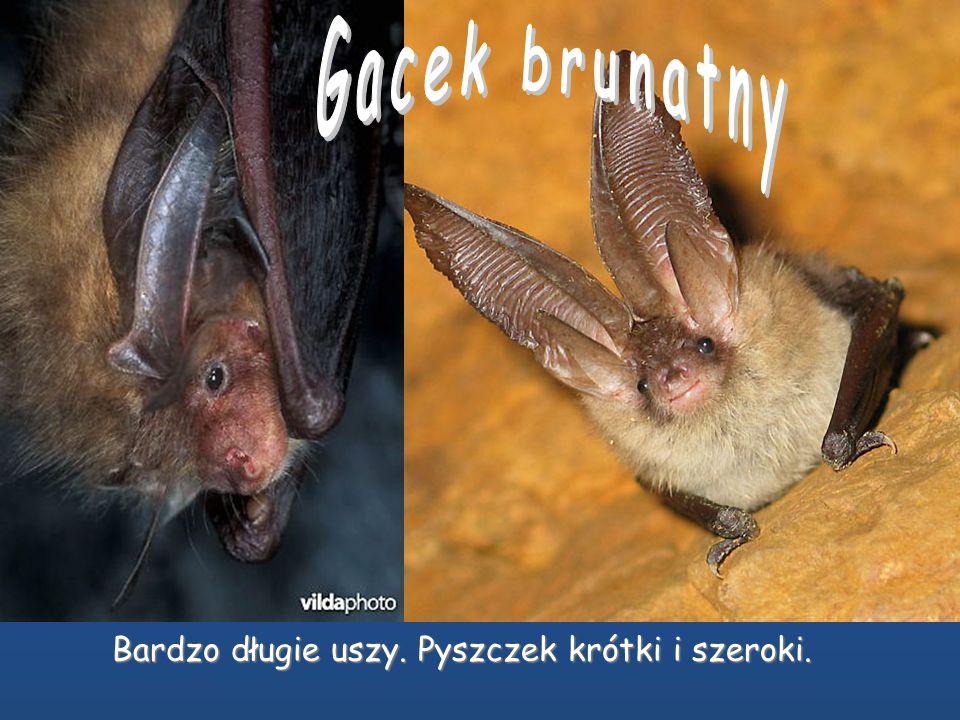 NAJWIĘKSZY NIETOPERZ W EUROPIE. W Polsce stwierdzony dotąd zaledwie dwa razy. Uszy bardzo szerokie. Koziołek grzybkowaty. Dolny brzeg ucha, w postaci