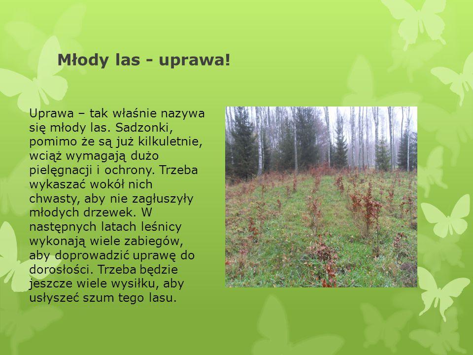 Młody las - uprawa! Uprawa – tak właśnie nazywa się młody las. Sadzonki, pomimo że są już kilkuletnie, wciąż wymagają dużo pielęgnacji i ochrony. Trze