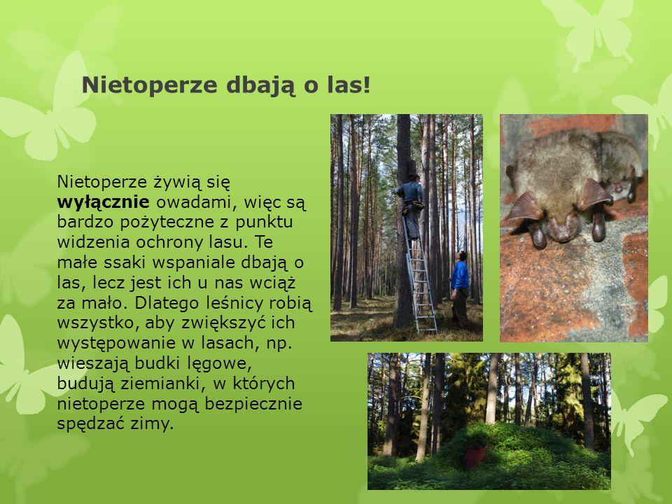 Nietoperze dbają o las! Nietoperze żywią się wyłącznie owadami, więc są bardzo pożyteczne z punktu widzenia ochrony lasu. Te małe ssaki wspaniale dbaj