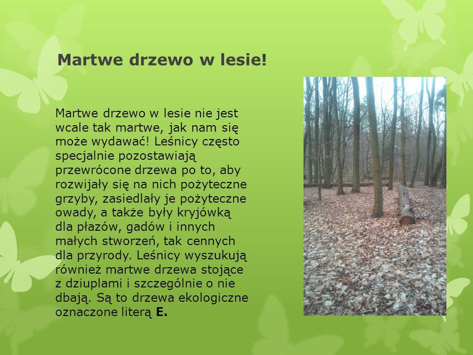 Martwe drzewo w lesie! Martwe drzewo w lesie nie jest wcale tak martwe, jak nam się może wydawać! Leśnicy często specjalnie pozostawiają przewrócone d