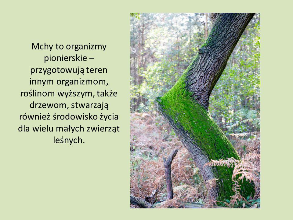 Mchy to organizmy pionierskie – przygotowują teren innym organizmom, roślinom wyższym, także drzewom, stwarzają również środowisko życia dla wielu małych zwierząt leśnych.