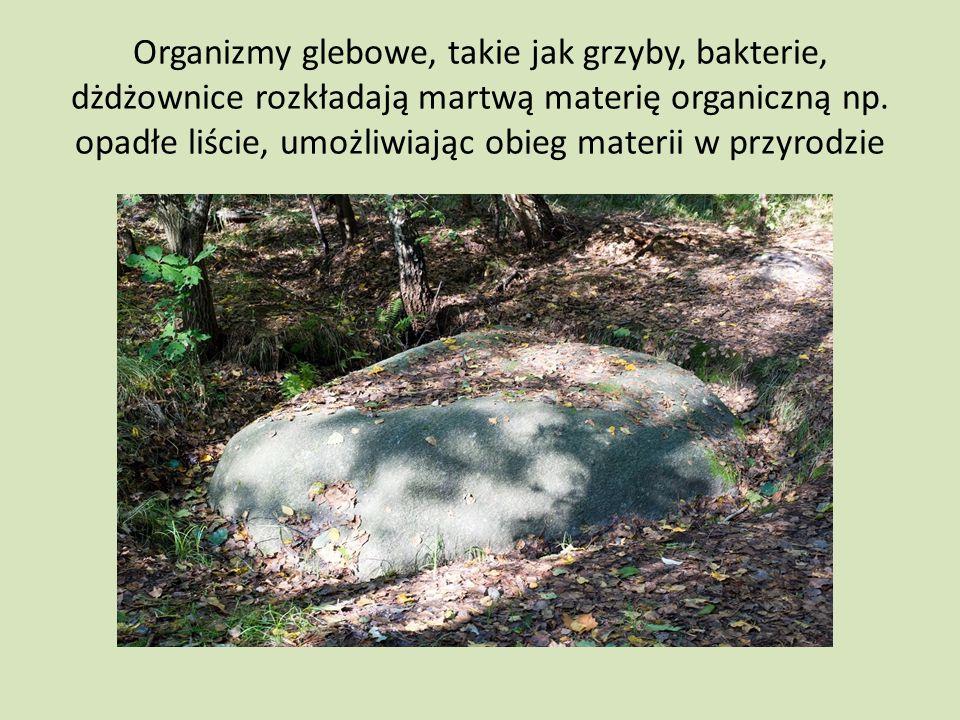 Organizmy glebowe, takie jak grzyby, bakterie, dżdżownice rozkładają martwą materię organiczną np. opadłe liście, umożliwiając obieg materii w przyrod