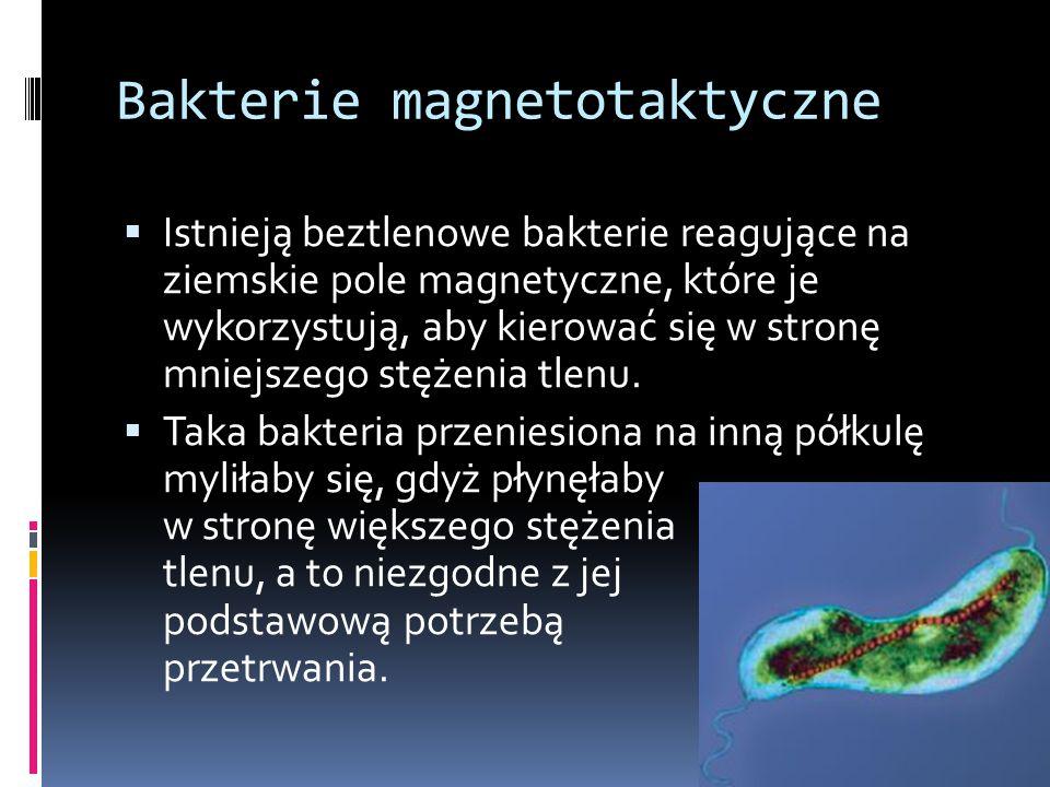 Bakterie magnetotaktyczne  Istnieją beztlenowe bakterie reagujące na ziemskie pole magnetyczne, które je wykorzystują, aby kierować się w stronę mnie