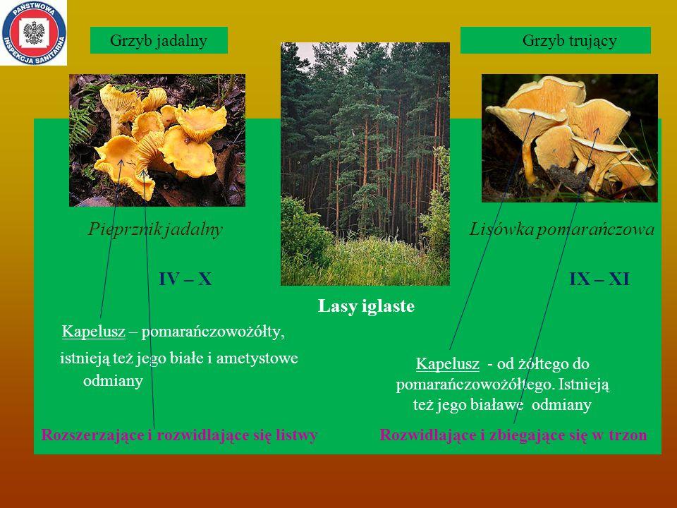 Pieprznik jadalny Lisówka pomarańczowa IV – X IX – XI Lasy iglaste Kapelusz – pomarańczowożółty, istnieją też jego białe i ametystowe odmiany Rozszerzające i rozwidlające się listwy Rozwidlające i zbiegające się w trzon Kapelusz - od żółtego do pomarańczowożółtego.