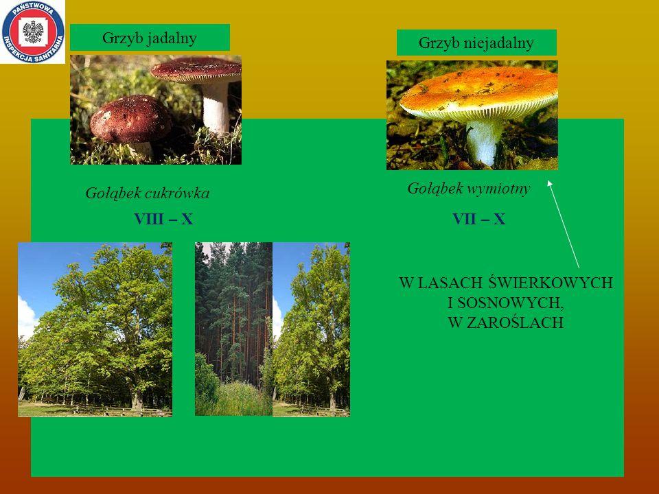 Gołąbek cukrówka Grzyb niejadalny Grzyb jadalny VIII – XVII – X Gołąbek wymiotny W LASACH ŚWIERKOWYCH I SOSNOWYCH, W ZAROŚLACH