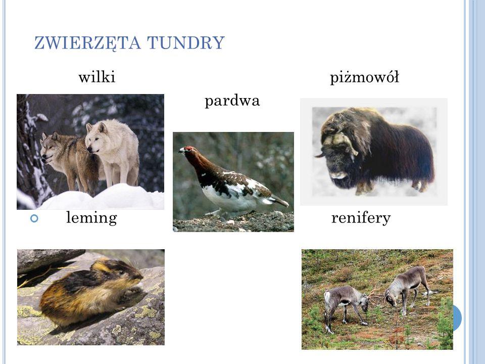 ZWIERZĘTA TUNDRY wilki piżmowół pardwa leming renifery