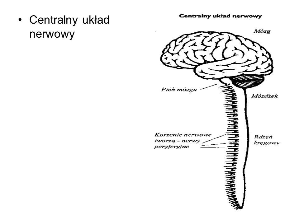 4 Centralny układ nerwowy
