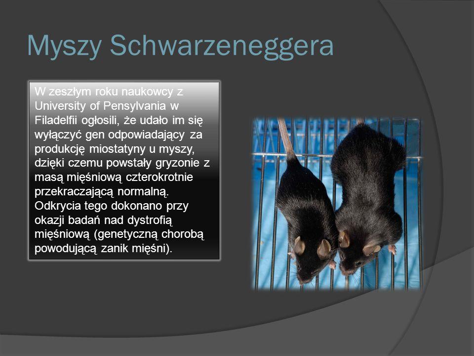 Myszy Schwarzeneggera W zeszłym roku naukowcy z University of Pensylvania w Filadelfii ogłosili, że udało im się wyłączyć gen odpowiadający za produkc
