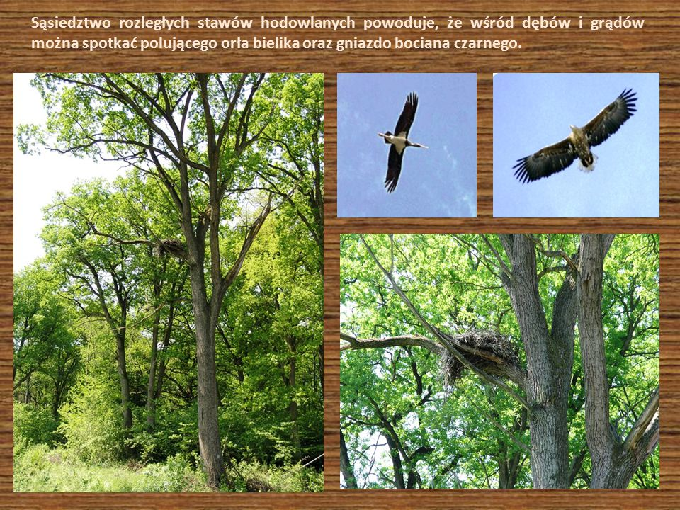 Sąsiedztwo rozległych stawów hodowlanych powoduje, że wśród dębów i grądów można spotkać polującego orła bielika oraz gniazdo bociana czarnego.