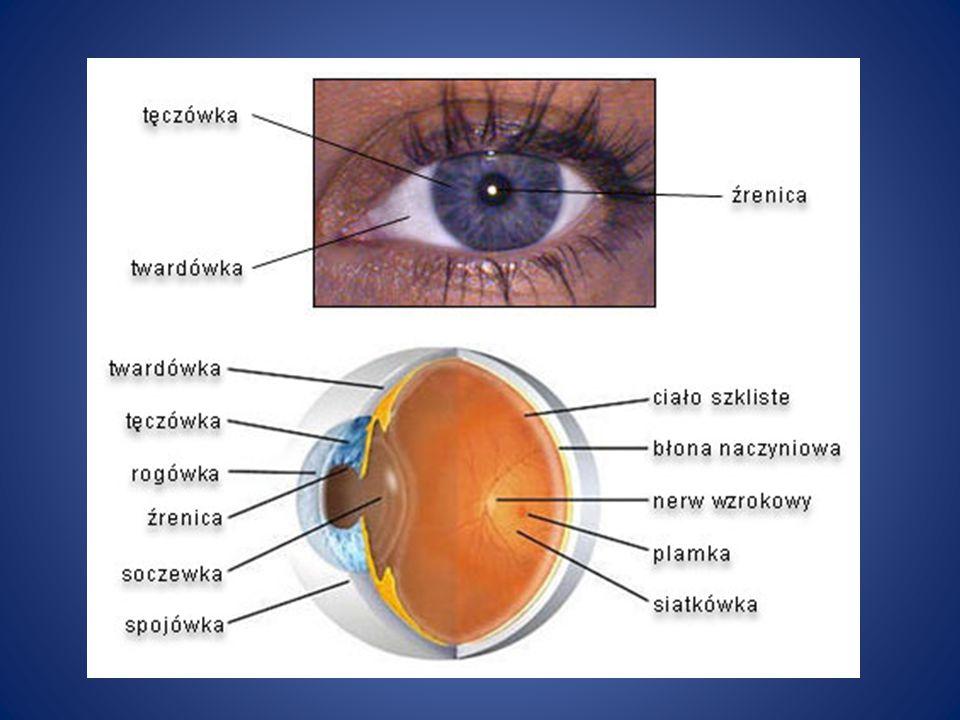 Jeżeli chodzi o zmysł wzroku, co najważniejsze jego zmiany rozwojowe dokonują się po urodzeniu.