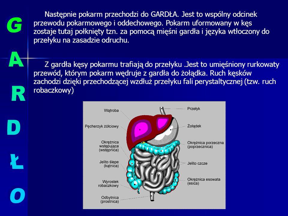 Następnym odcinkiem przewodu pokarmowego jest JELITO CIENKIE dzielące się na DWUNASTNICĘ, JELITO CZCZE i KRETE), do którego uchodzą enzymy TRZUSTKI i ŻÓŁĆ produkowana przez WATROBĘ.