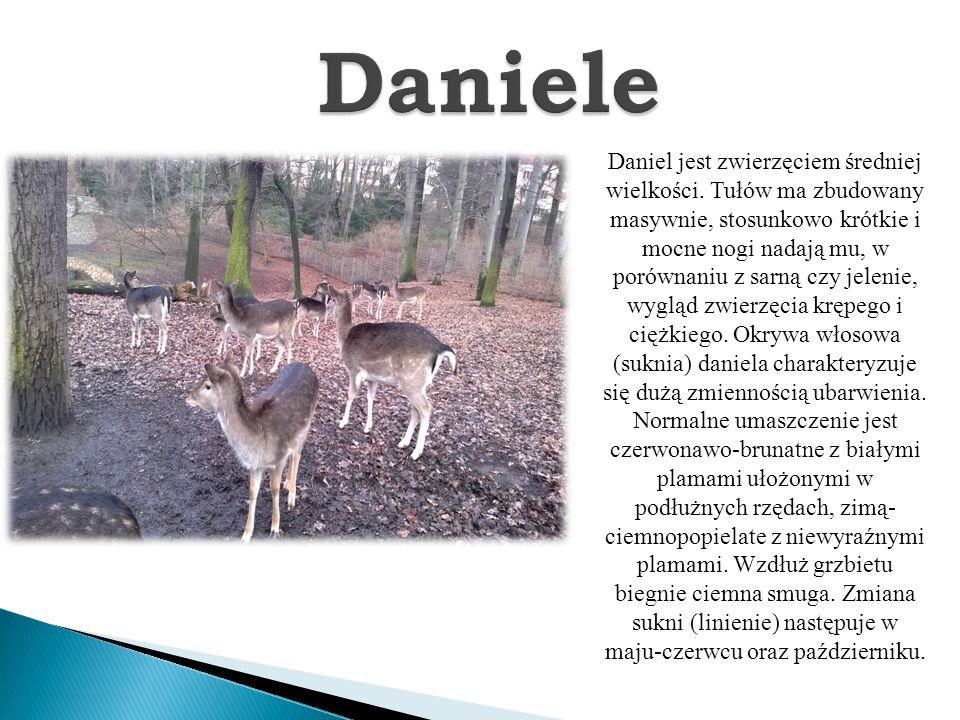 Daniel jest zwierzęciem średniej wielkości. Tułów ma zbudowany masywnie, stosunkowo krótkie i mocne nogi nadają mu, w porównaniu z sarną czy jelenie,