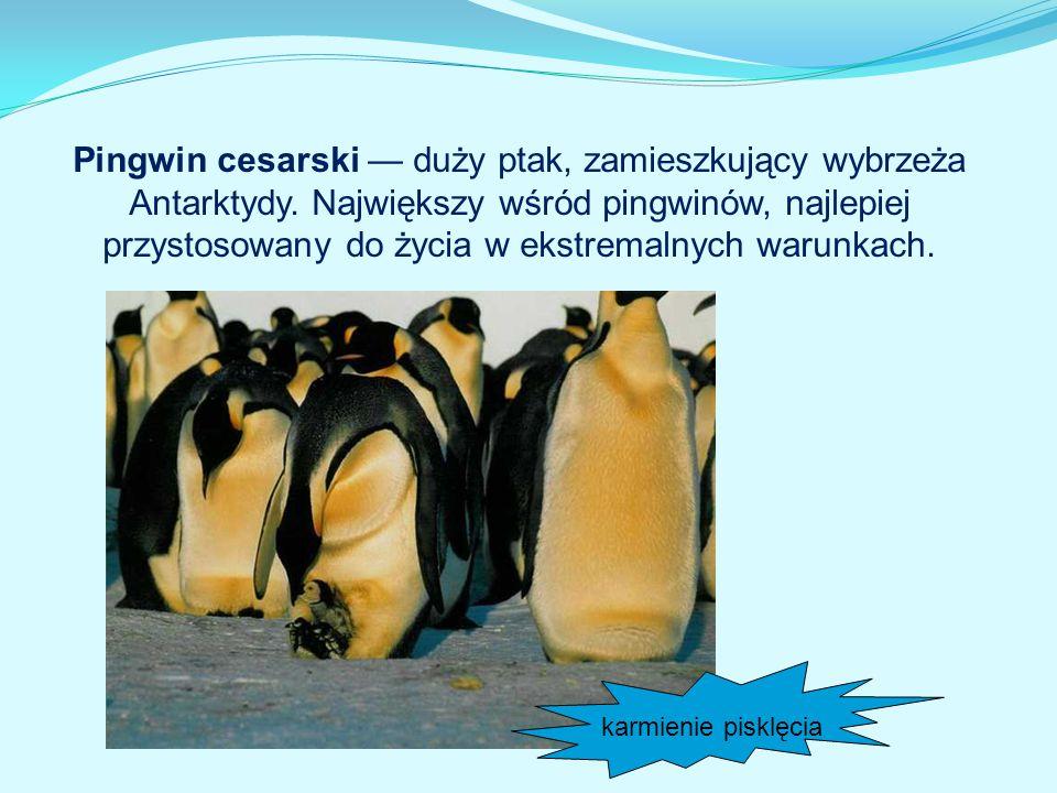 karmienie pisklęcia Pingwin cesarski — duży ptak, zamieszkujący wybrzeża Antarktydy. Największy wśród pingwinów, najlepiej przystosowany do życia w ek
