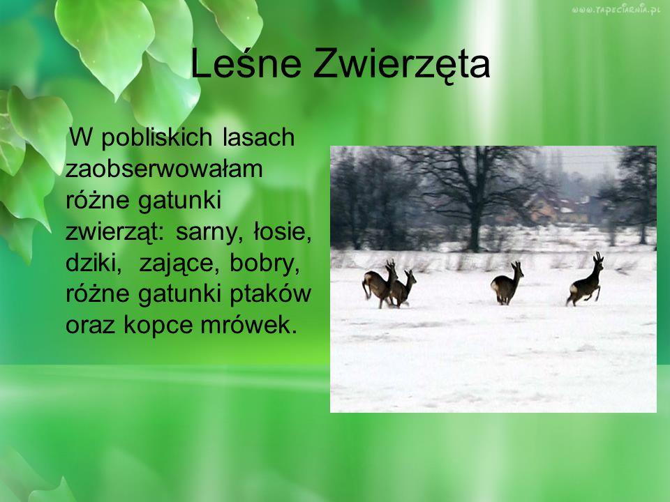 Leśne Zwierzęta W pobliskich lasach zaobserwowałam różne gatunki zwierząt: sarny, łosie, dziki, zające, bobry, różne gatunki ptaków oraz kopce mrówek.