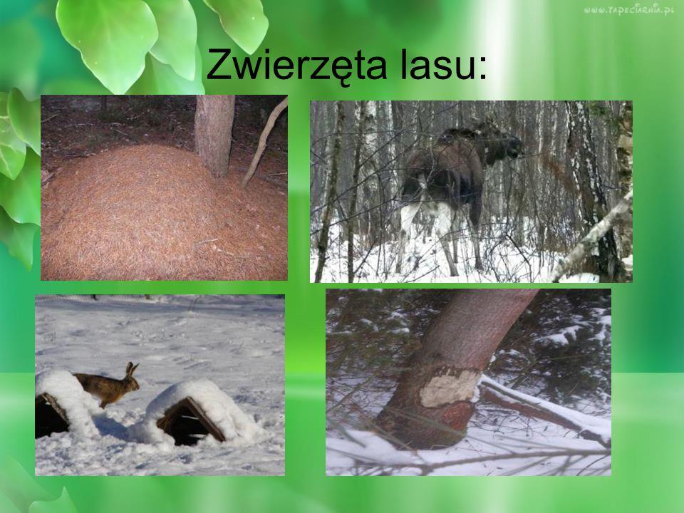 Zwierzęta lasu: