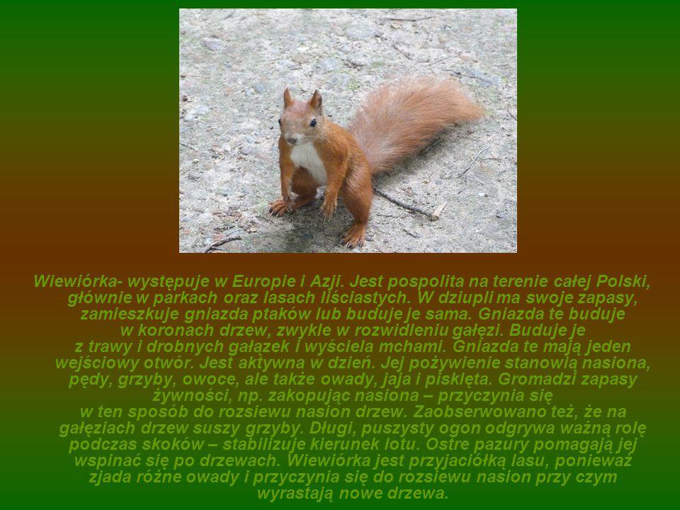Wiewiórka- występuje w Europie i Azji. Jest pospolita na terenie całej Polski, głównie w parkach oraz lasach liściastych. W dziupli ma swoje zapasy, z