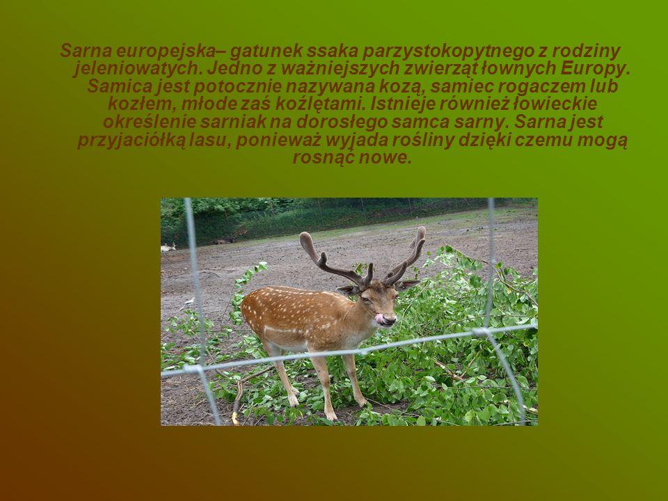 Sarna europejska– gatunek ssaka parzystokopytnego z rodziny jeleniowatych. Jedno z ważniejszych zwierząt łownych Europy. Samica jest potocznie nazywan