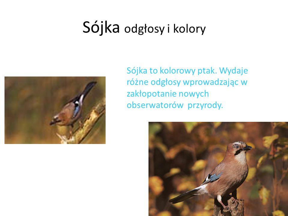 Sójka odgłosy i kolory Sójka to kolorowy ptak. Wydaje różne odgłosy wprowadzając w zakłopotanie nowych obserwatorów przyrody.