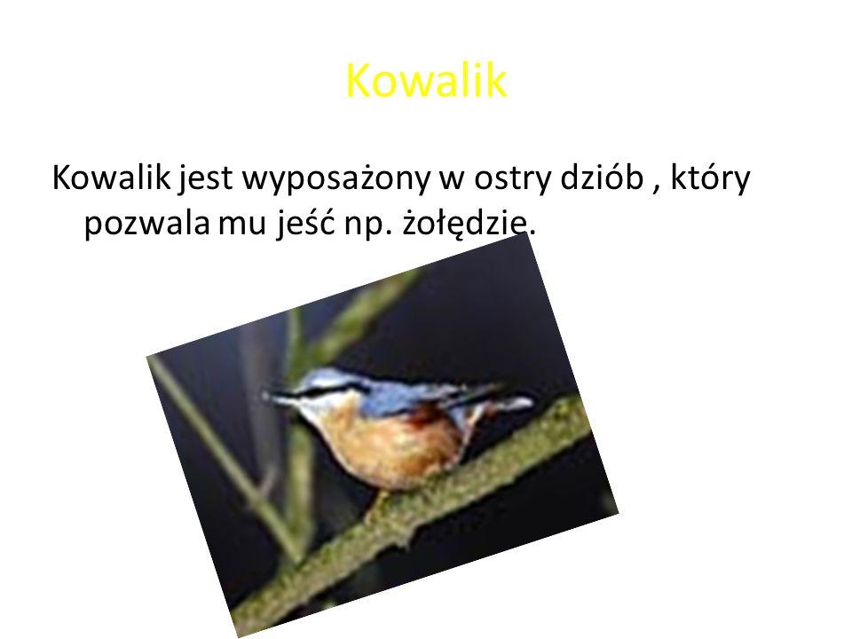 Kowalik Kowalik jest wyposażony w ostry dziób, który pozwala mu jeść np. żołędzie.