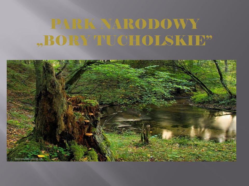 """ Park Narodowy """"Bory Tucholskie leży we wschodniej części Pojezierza Pomorskiego i obejmuje swym zasięgiem cenne przyrodniczo, krajobrazowo oraz kulturowo fragmenty największego leśnego kompleksu w Polsce."""