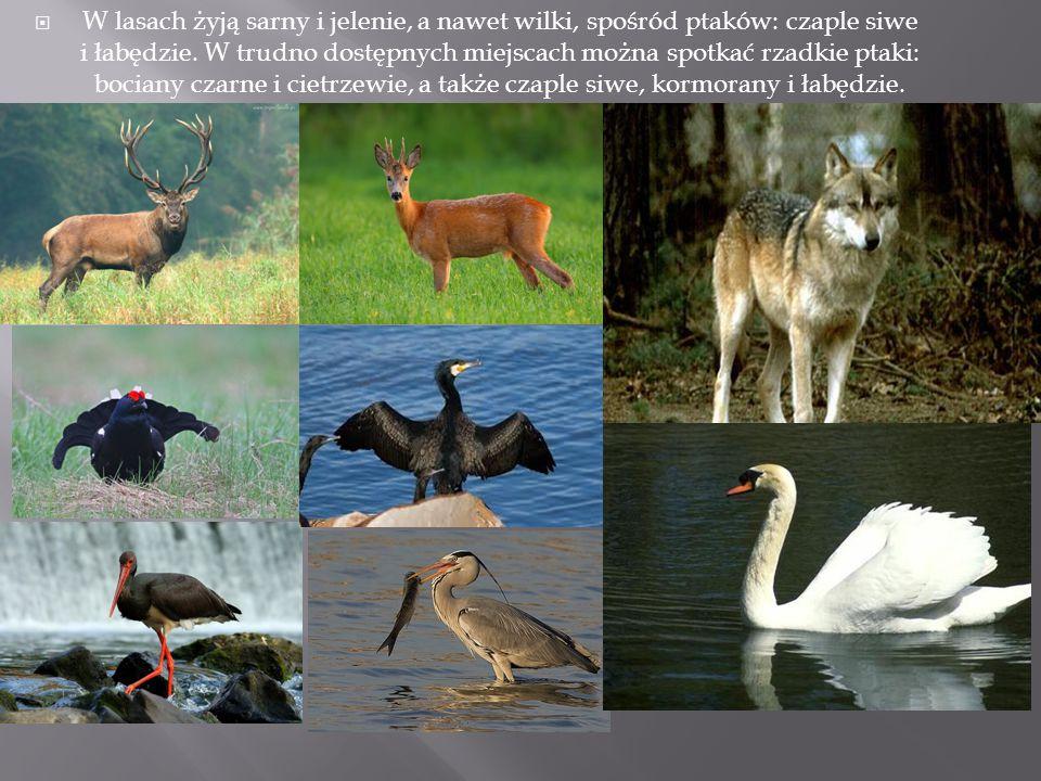  W lasach żyją sarny i jelenie, a nawet wilki, spośród ptaków: czaple siwe i łabędzie. W trudno dostępnych miejscach można spotkać rzadkie ptaki: boc
