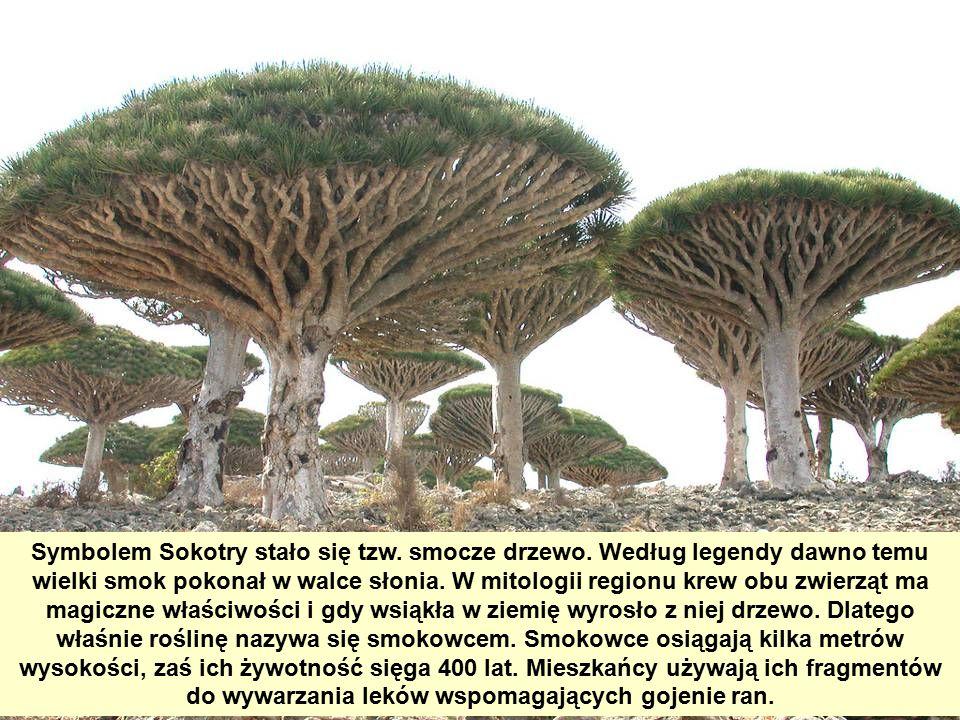 Symbolem Sokotry stało się tzw.smocze drzewo.