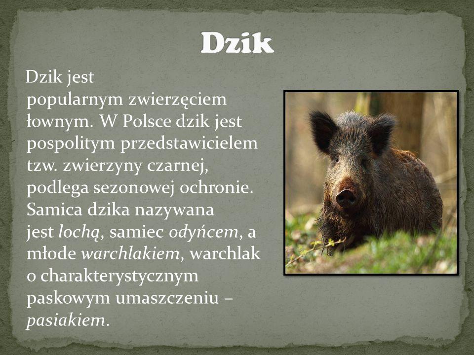 Dzik jest popularnym zwierzęciem łownym.W Polsce dzik jest pospolitym przedstawicielem tzw.