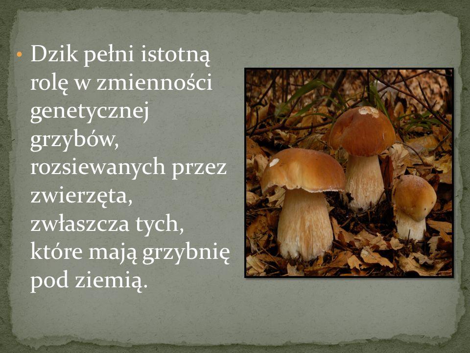 Dzik pełni istotną rolę w zmienności genetycznej grzybów, rozsiewanych przez zwierzęta, zwłaszcza tych, które mają grzybnię pod ziemią.